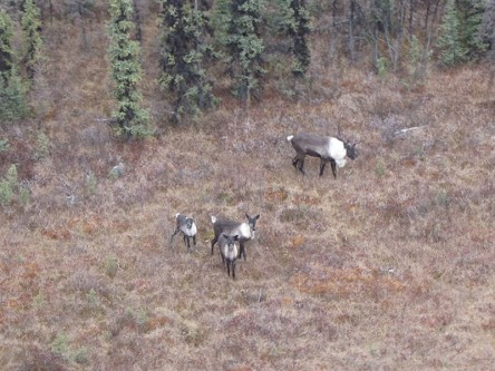 Identifying High Residency Habitat and Functional Movement Paths for Caribou in West-Central Alberta