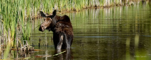 Moose Response to Disturbance in West-central Alberta