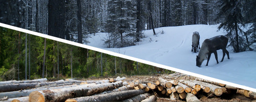 Advancing Harvest System and Silvicultural Practices for Improved Woodland Caribou and Fibre Outcomes