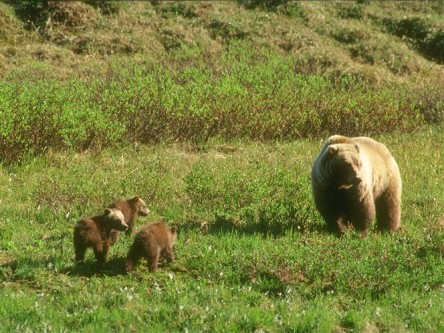 Research to Support Recovery and Long Term Conservation of Grizzly Bears in Alberta