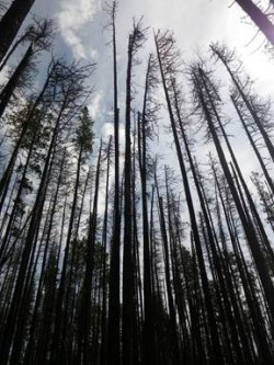 Impacts of mountain pine beetle on hydrology and vegetative redevelopment in lodgepole pine forests of west-central Alberta: Phase II - Ecological responses in the grey attack stage